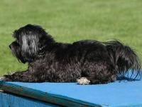 Havanese are great at Agility