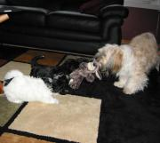 Socializing Havanese dogs with cats, kids and other dogs